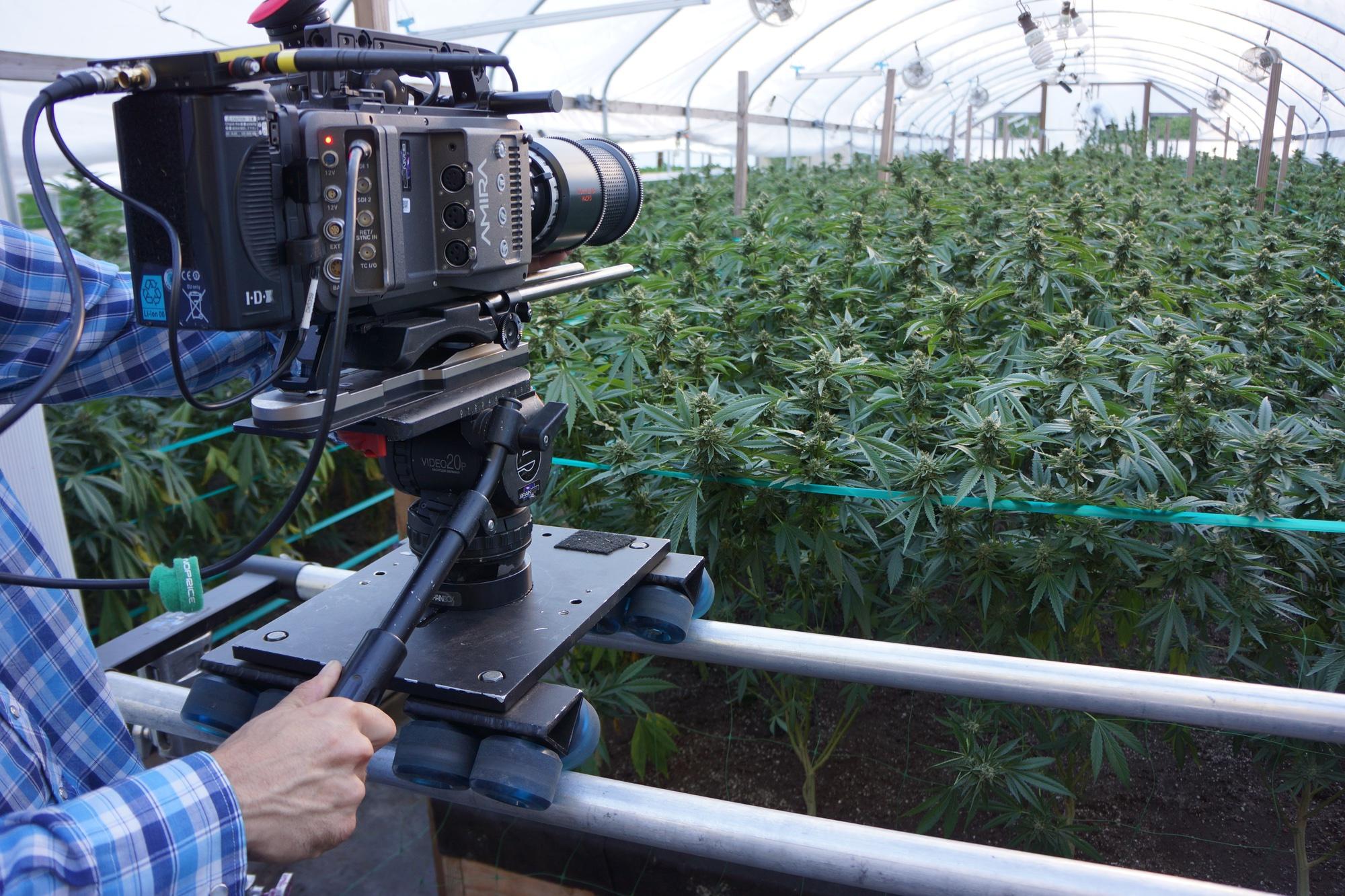 Video-Shoot-Cannabis-Greenhouse