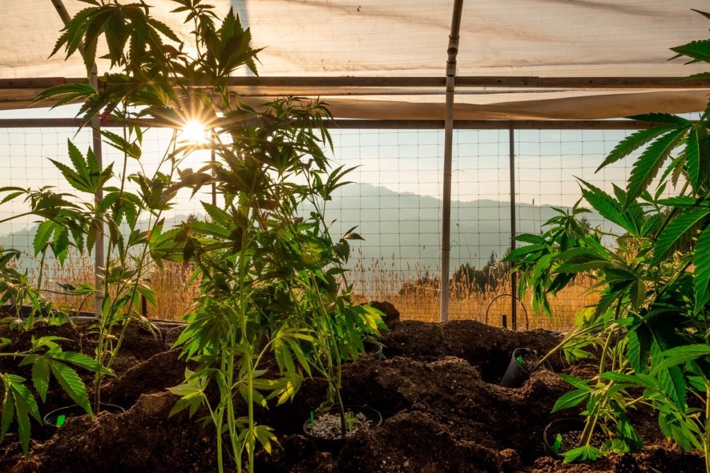 Big-Leaf-Ranch-Cannabis-Farm-Photo_14