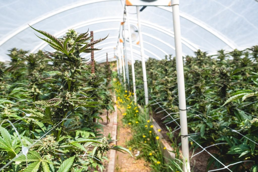 Humboldt-Nation-Cannabis-Farm-Photo_16