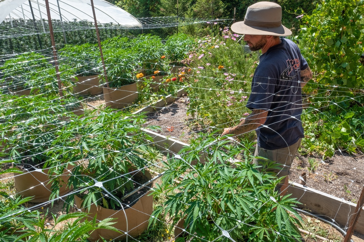 Humboldt-Nation-Cannabis-Farm-Photo_31