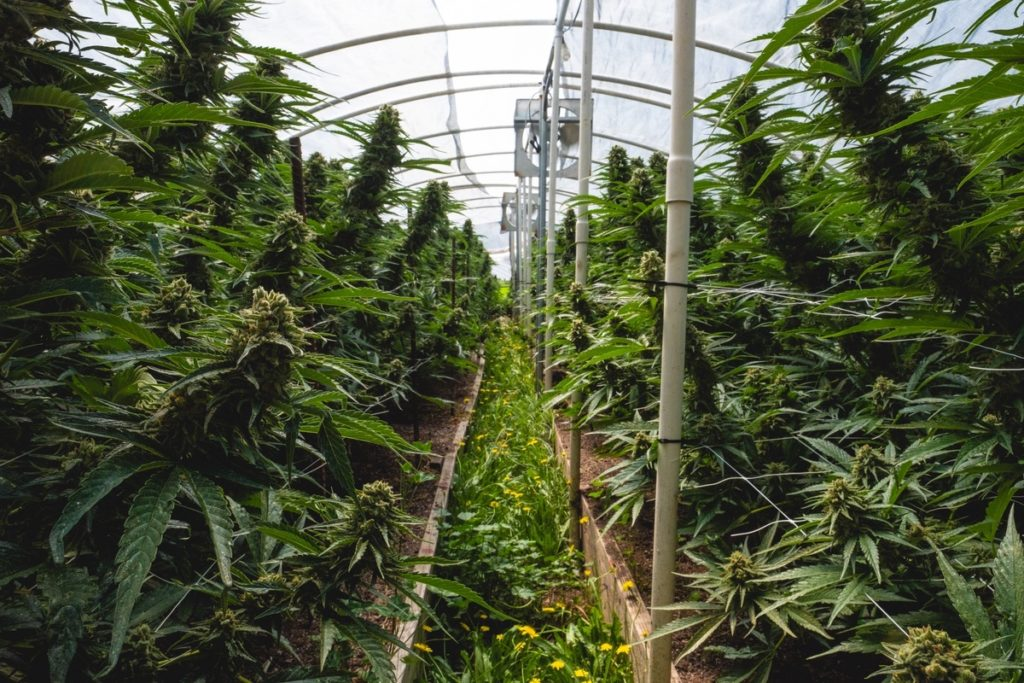 Humboldt-Nation-Cannabis-Farm-Photo_61