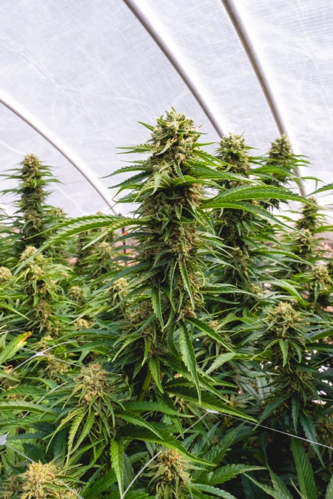 Humboldt-Nation-Cannabis-Farm-Photo_86
