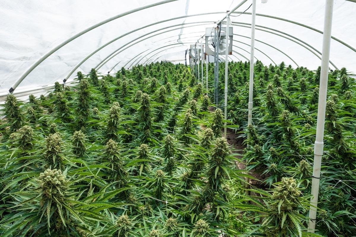 Humboldt-Nation-Cannabis-Farm-Photo_96