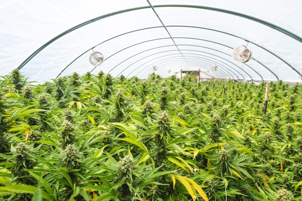 Mattole-Cannabis-Farm-Photo_102