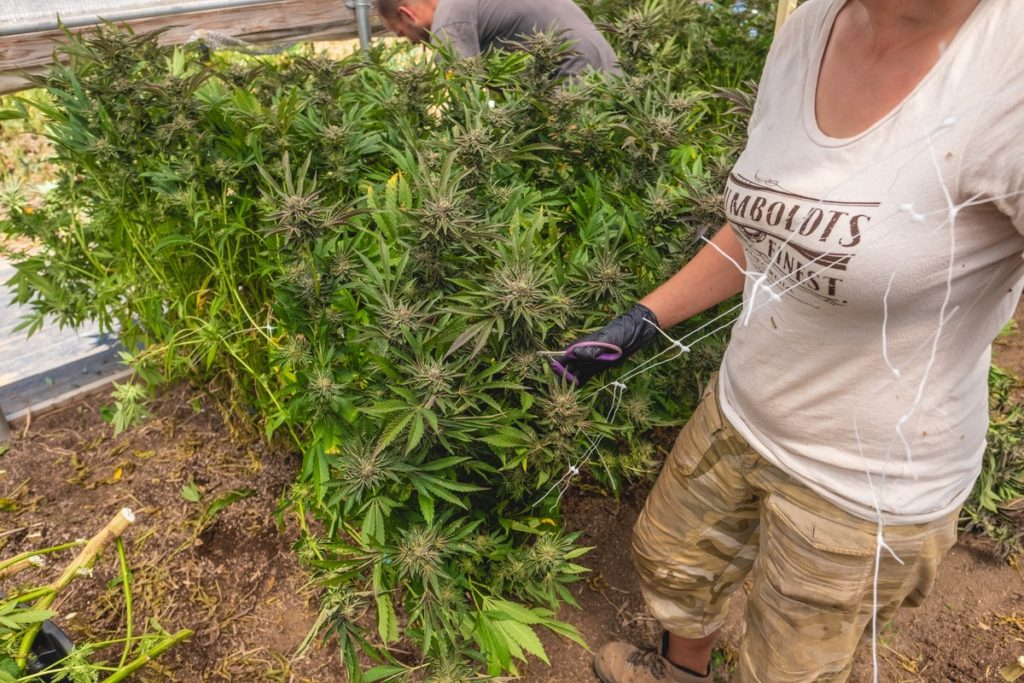 Mattole-Cannabis-Farm-Photo_107