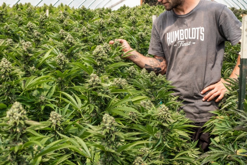 Mattole-Cannabis-Farm-Photo_11