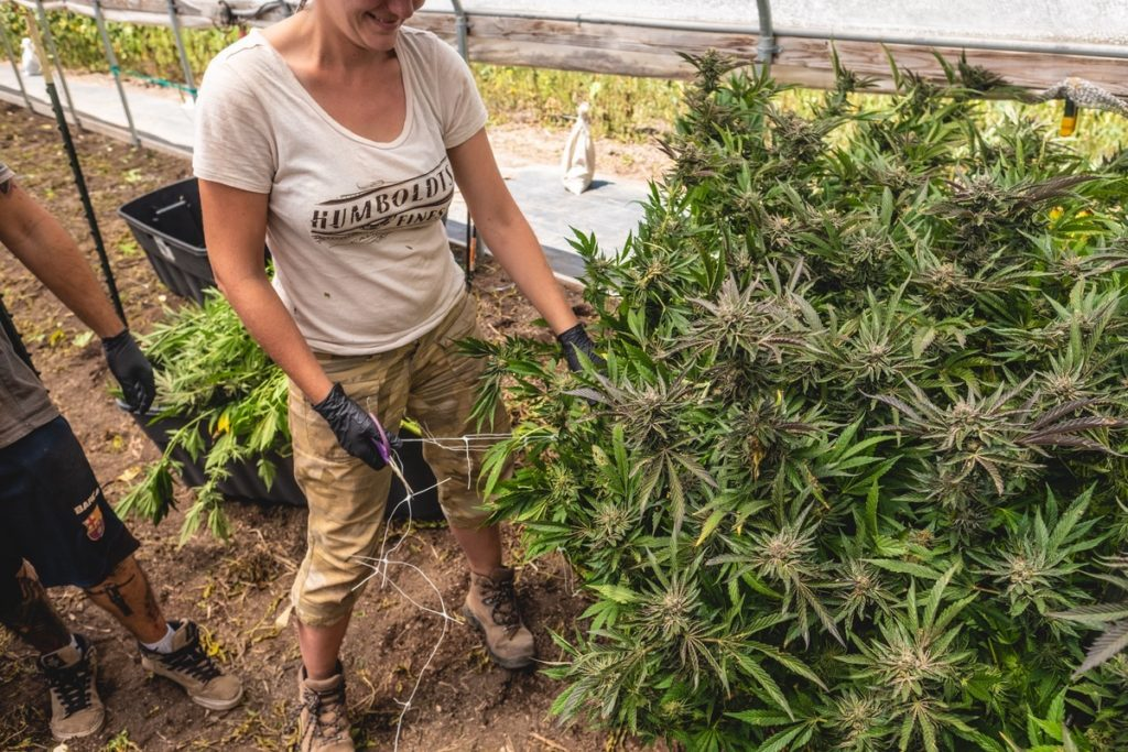 Mattole-Cannabis-Farm-Photo_119