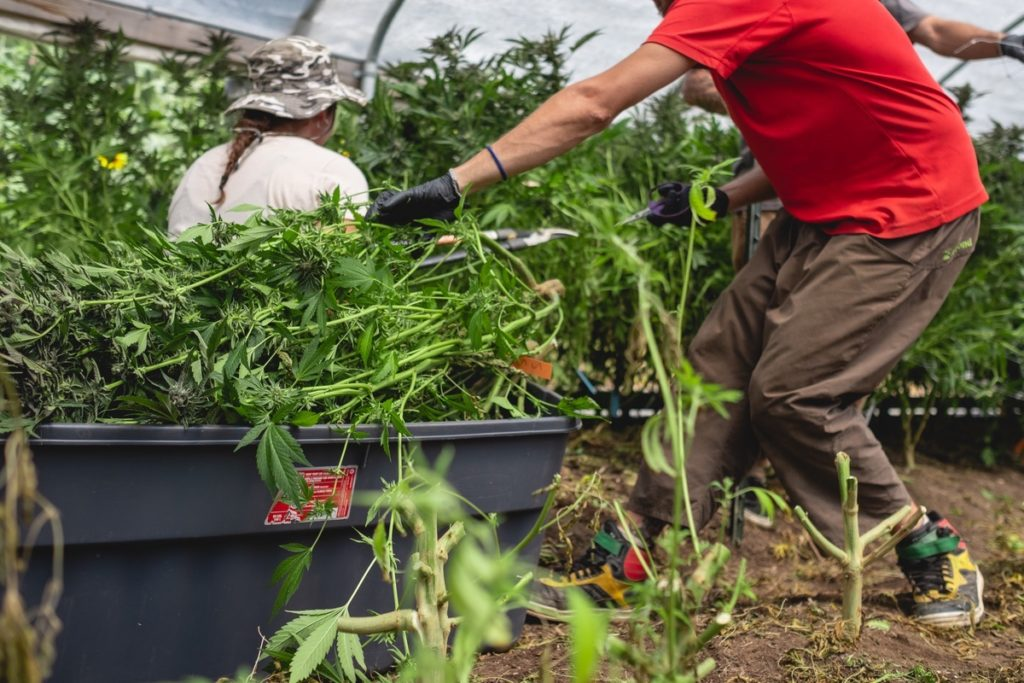 Mattole-Cannabis-Farm-Photo_12