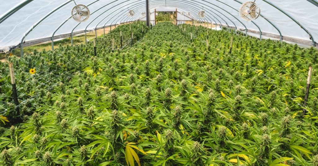 Mattole-Cannabis-Farm-Photo_123
