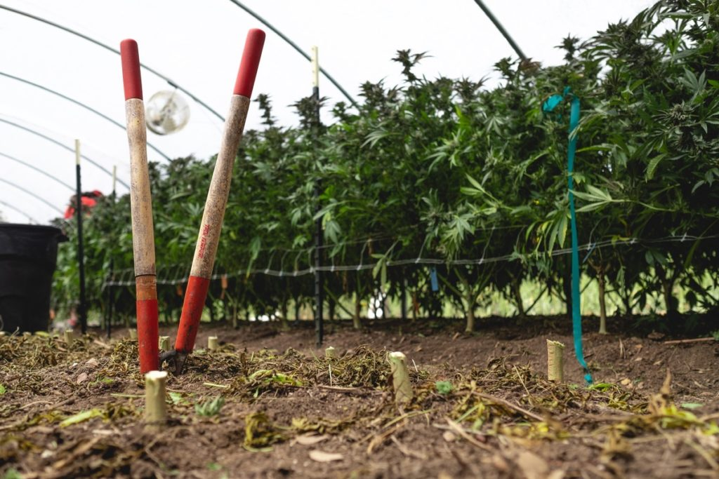 Mattole-Cannabis-Farm-Photo_131