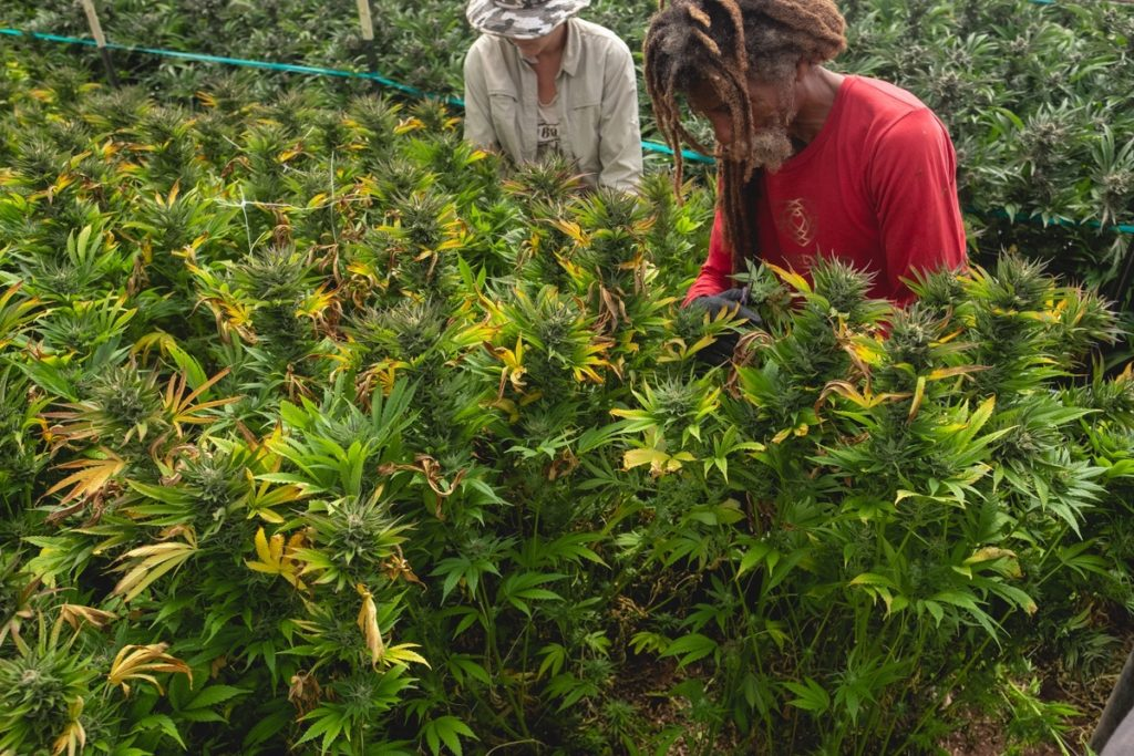 Mattole-Cannabis-Farm-Photo_136