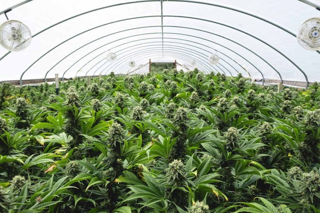 Mattole-Cannabis-Farm-Photo_138