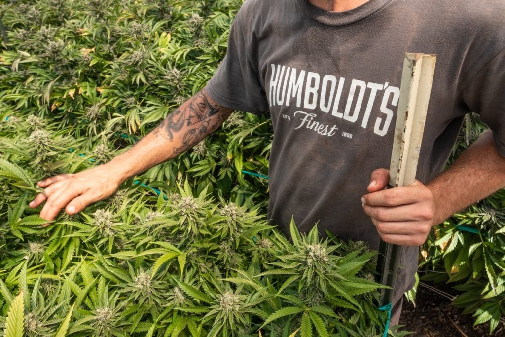 Mattole-Cannabis-Farm-Photo_28