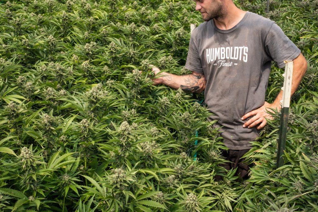 Mattole-Cannabis-Farm-Photo_61