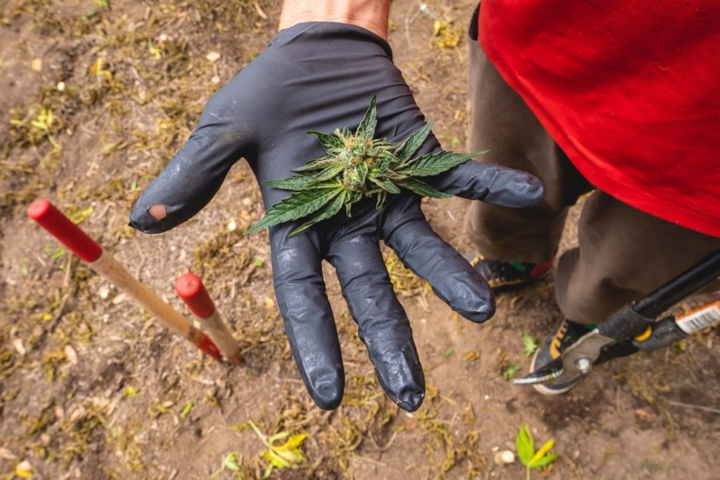 Mattole-Cannabis-Farm-Photo_8