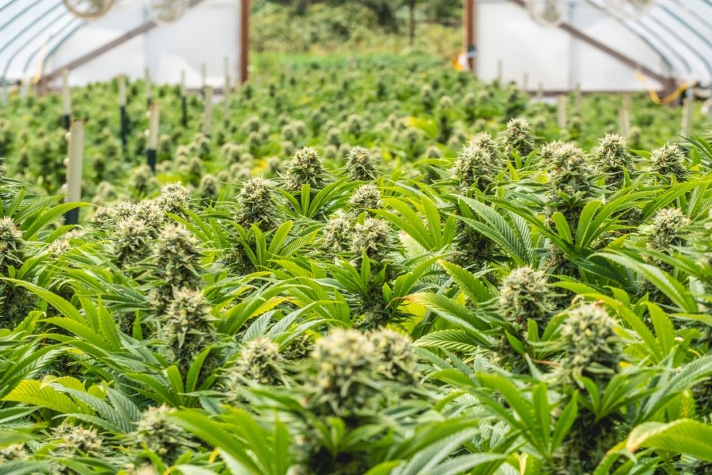 Mattole-Cannabis-Farm-Photo_83