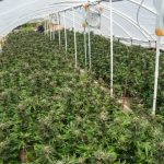 Humboldt-Nation-Cannabis-Farm-Photo_84-1024x683