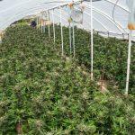 Humboldt-Nation-Cannabis-Farm-Photo_84-1024x683